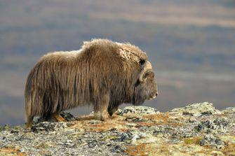 Dovrefjell-Sunndalsfjella National Park lone yak, wandelen, noorwegen