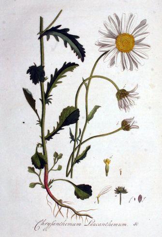 madeliefje, eetbare planten, plukken, nederlandse natuur, nederland